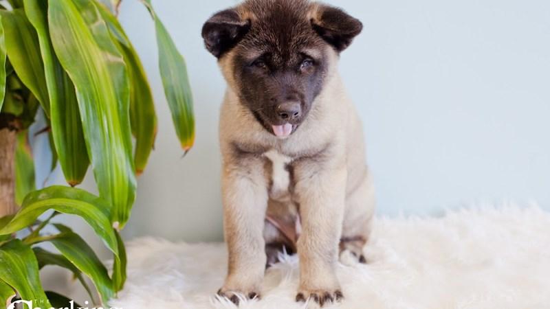 Grand Rapids Akita Puppies