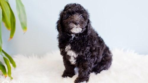 Grand Rapids Goldendoodle Mini 2nd Gen Puppies for sale