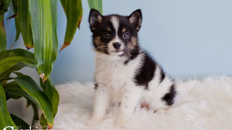 Grand Rapids Pomsky 2nd Gen Puppies