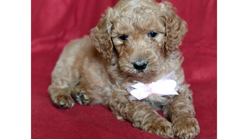 Grand Rapids Poodle Standard Puppies