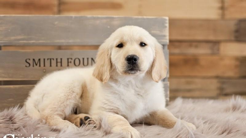 Grand Rapids Golden Retriever Puppies