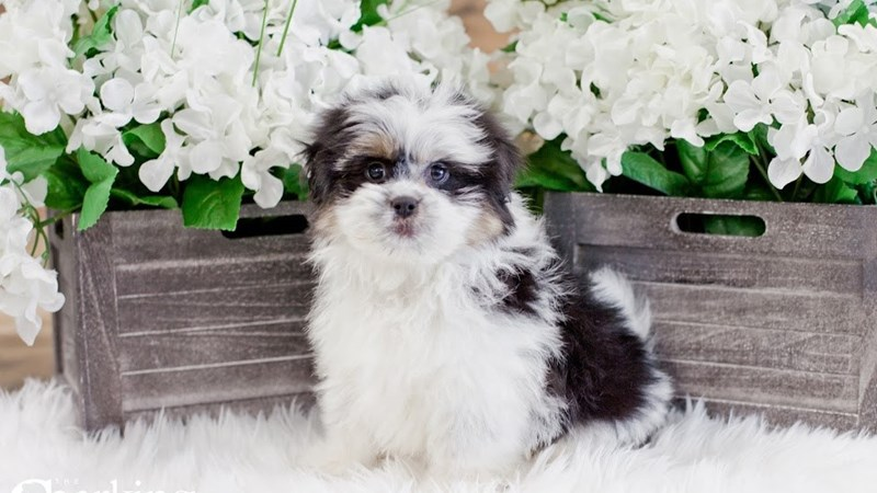 Grand Rapids Pomeranian/shih Tzu Puppies