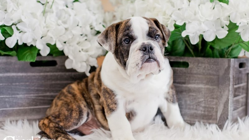 Grand Rapids Bulldog Puppies