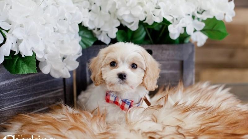 Grand Rapids Cavachon Puppies