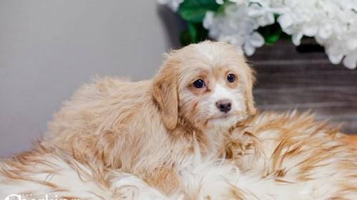 Grand Rapids Beagle/poodle Puppies for sale