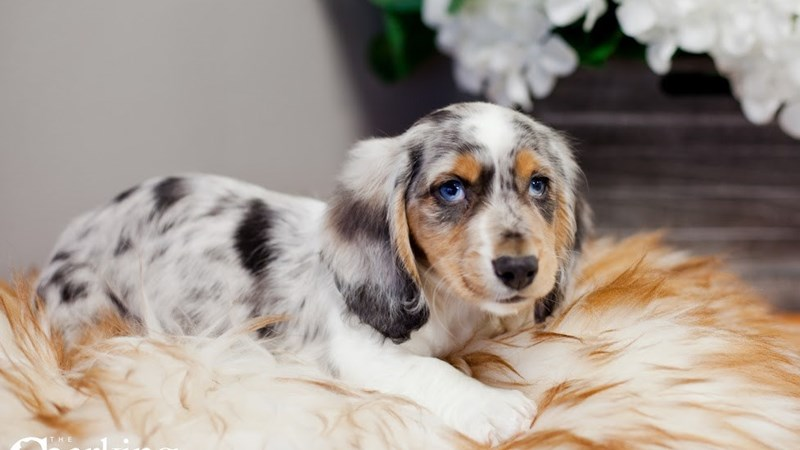 Grand Rapids Dachshund Puppies