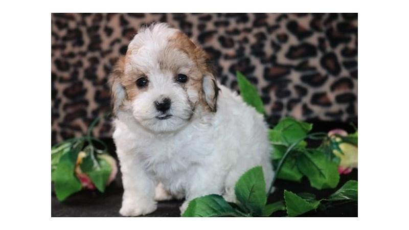 Grand Rapids Poodle/bichon Frise Puppies
