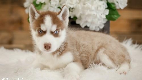 Grand Rapids Siberian Husky Puppies for sale