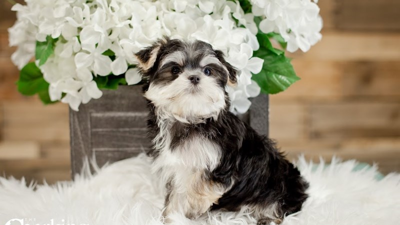 Grand Rapids Maltese/yorkie Puppies