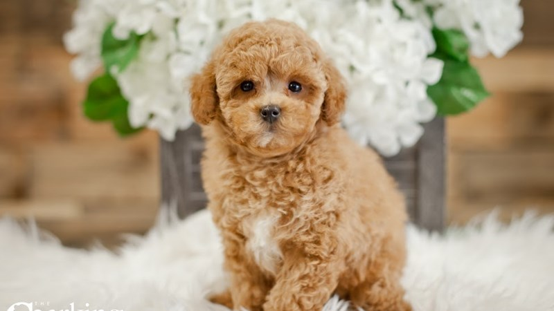 Grand Rapids Poodle Puppies