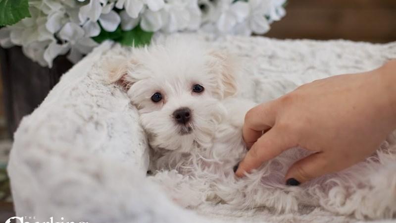 Grand Rapids Maltese Puppies