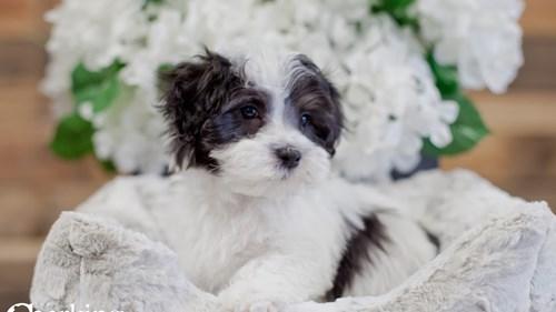 Grand Rapids Malti Poo Dog Adoption Grand Rapids, MI