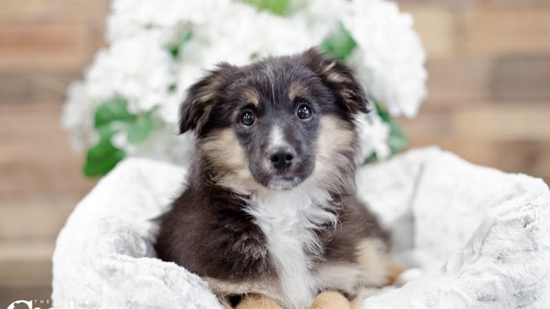 Grand Rapids Mini Australian Shepherd Puppies