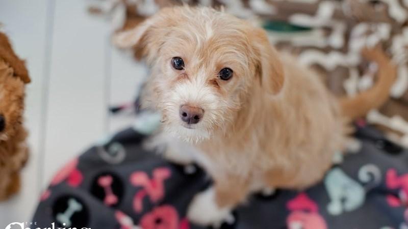 Grand Rapids Beagle/poodle Puppies
