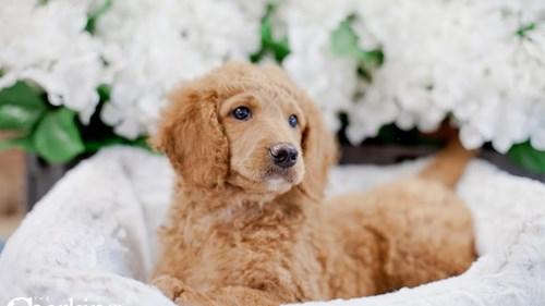 Grand Rapids F1b Mini Goldendoodle Puppies for sale