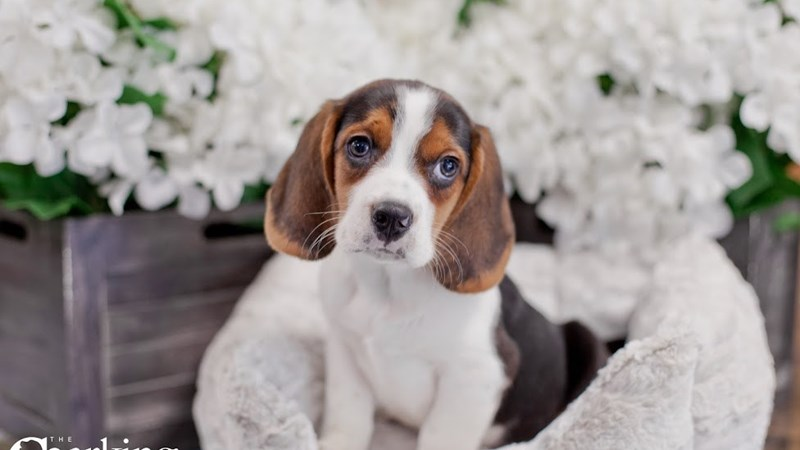 Grand Rapids Beagle Puppies