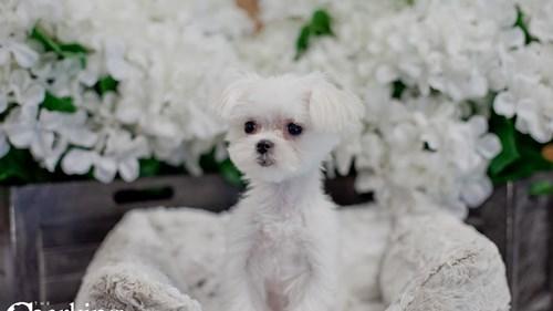 Grand Rapids Maltese Dog Adoption Grand Rapids, MI