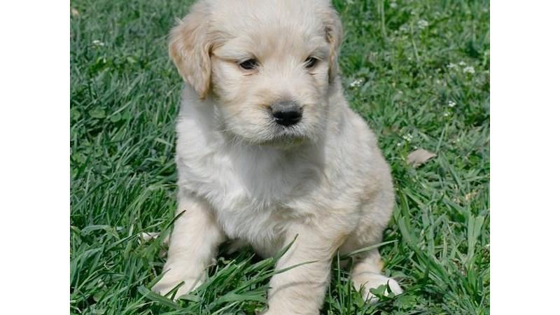 Grand Rapids Goldendoodle Puppies
