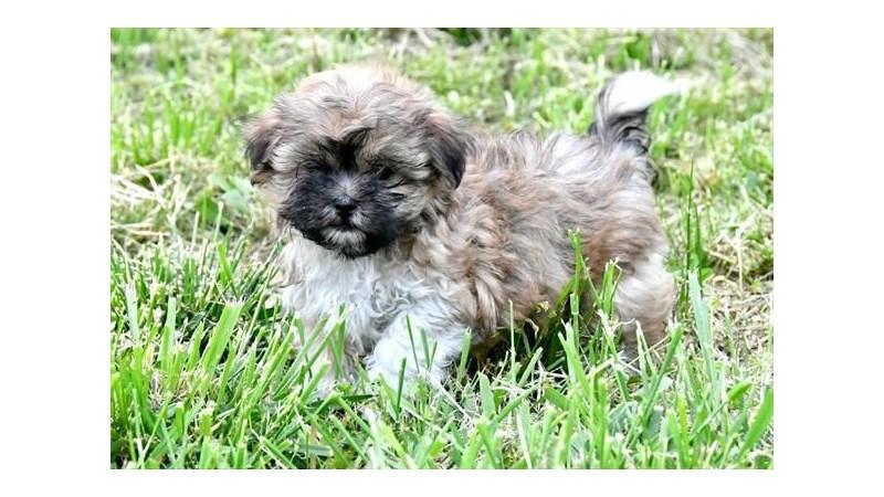 Grand Rapids Maltese/shih Tzu Puppies