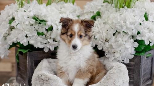Grand Rapids Shetland Sheepdog Puppies for sale