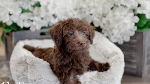 Grand Rapids Poodle/miniature Schnauzer Puppies for sale