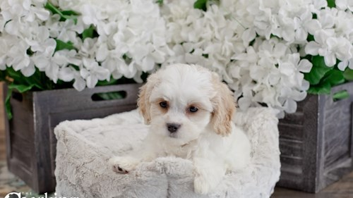 Grand Rapids Cavalier King Charles Spaniel/bichon Frise Dog Adoption Grand Rapids, MI