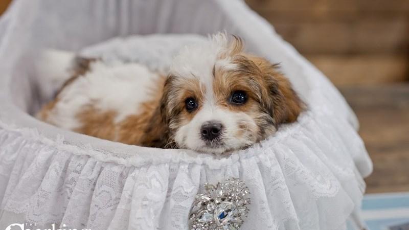 Grand Rapids Cavalier King Charles Spaniel/bichon Frise Puppies