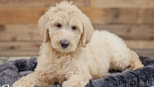 Grand Rapids F1b Goldendoodle Puppies for sale