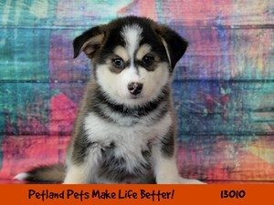 Find A Siberian Husky Near Lemont Il Petkey