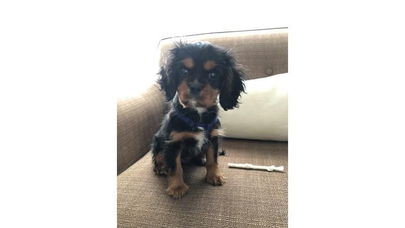 Grand Rapids Cavalier King Charles Spaniel Puppies