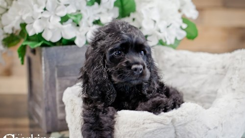 Grand Rapids Cocker Spaniel Puppies for sale