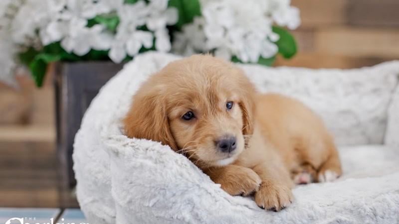 Grand Rapids Goldendoodle Mini Puppies
