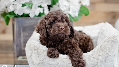 Grand Rapids Cock A Poo Puppies for sale