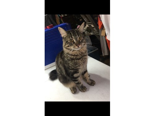 Found Cat Maine Coon Tabby Hickory Hills Illinois