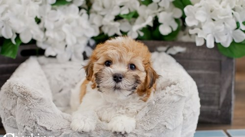Grand Rapids Havanese Dog Adoption Grand Rapids, MI