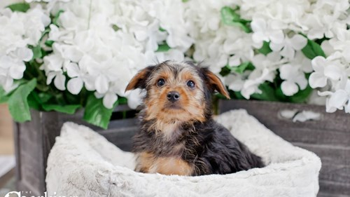 Grand Rapids Morkie Puppies for sale