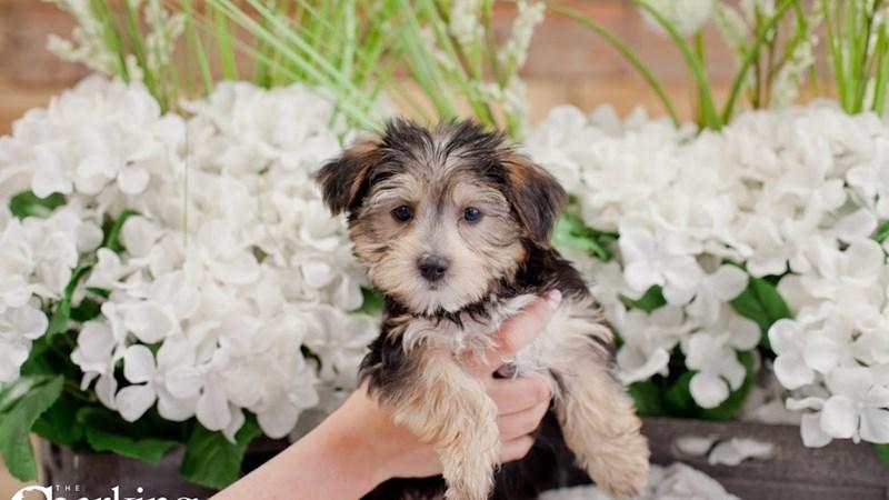 Grand Rapids Morkie Puppies