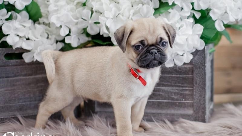 Grand Rapids Pug Puppies