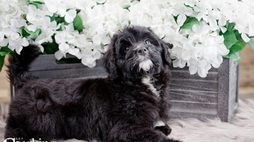 Grand Rapids Bernese Mountain Dog/miniature Poodle Dog Adoption Grand Rapids, MI