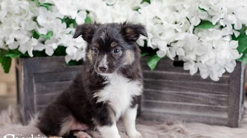 Grand Rapids Australian Shepherd Dog Adoption Grand Rapids, MI