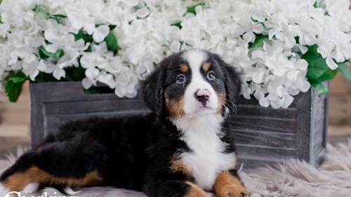 Grand Rapids Bernese Mountain Dog Dog Adoption Grand Rapids, MI