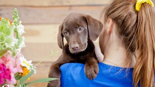 Grand Rapids Labrador Retriever Puppies for sale