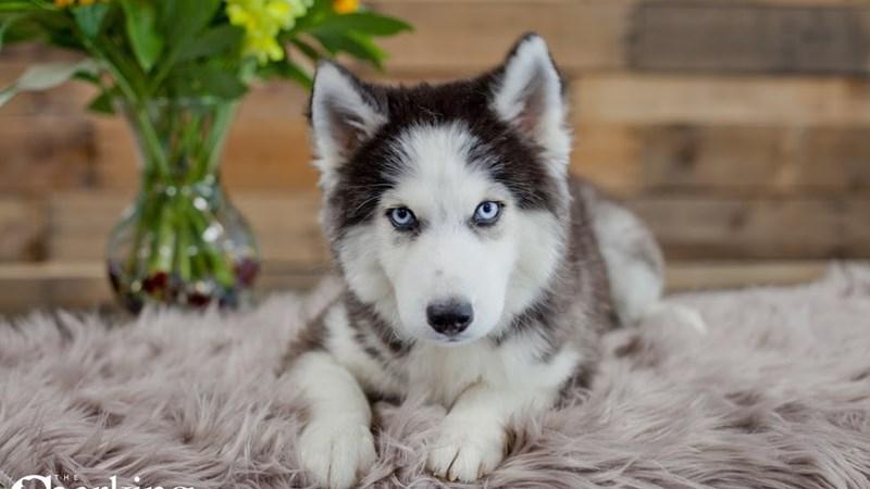 Grand Rapids Siberian Husky Puppies