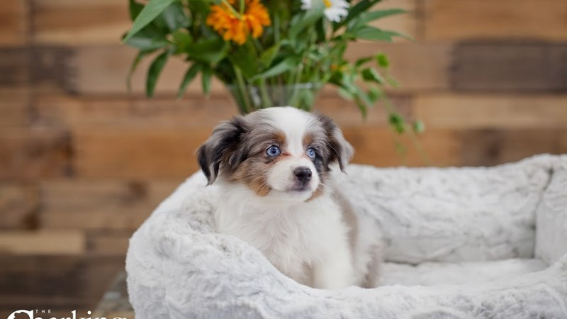 Grand Rapids Australian Shepherd/shetland Sheepdog Puppies