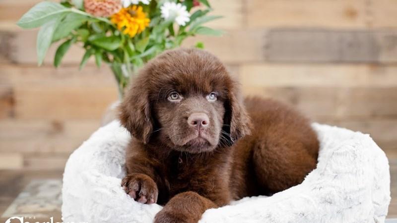 Grand Rapids Newfoundland Puppies