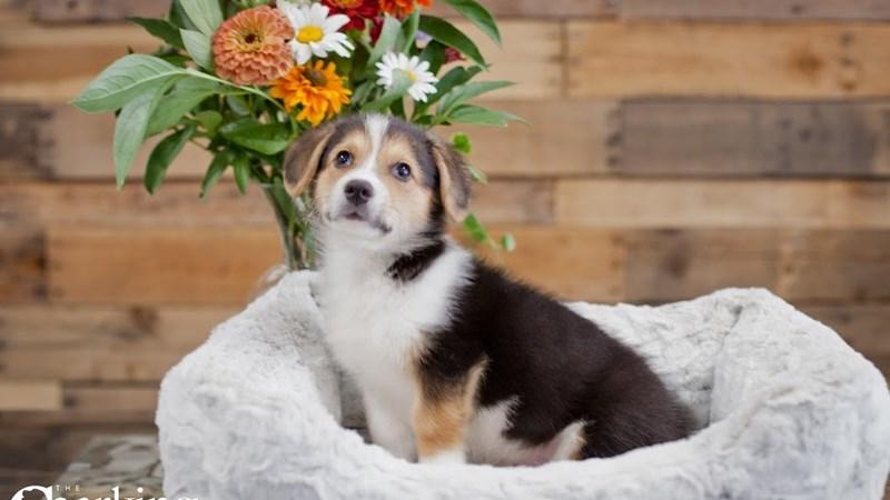 Grand Rapids Pembroke Welsh Corgi Puppies