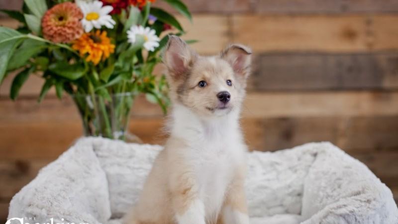 Grand Rapids Shetland Sheepdog Puppies
