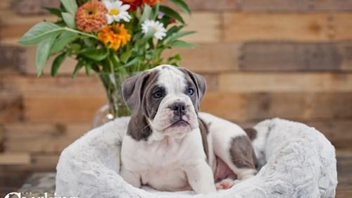 Grand Rapids Olde English Bulldog Dog Adoption Grand Rapids, MI