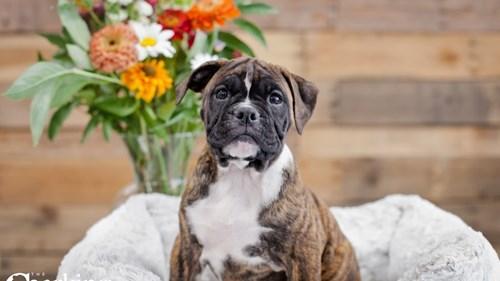 Grand Rapids Olde English Bulldog Puppies for sale