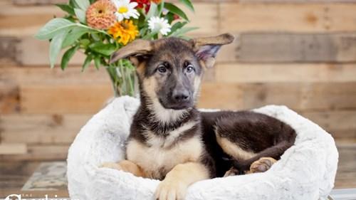 Grand Rapids German Shepherd Dog Dog Adoption Grand Rapids, MI